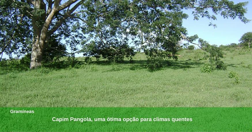 Conheça o capim Pangola