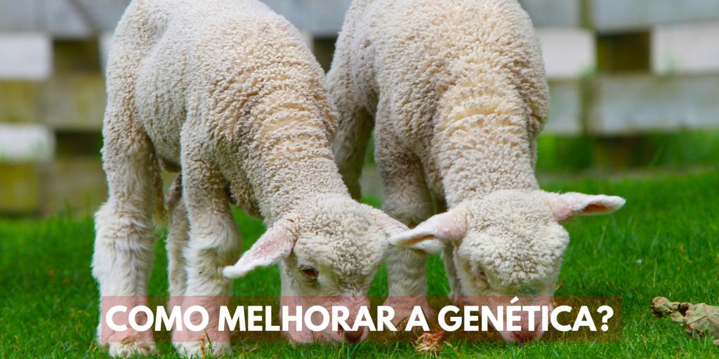 Como melhorar a genética do rebanho?
