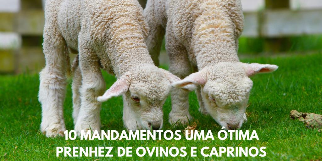 Prenhez de Ovinos e Caprinos
