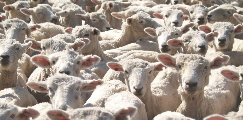 Ovinocultura – Perspectivas para 2018