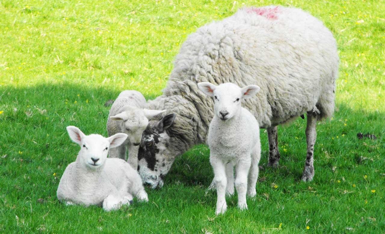 Pecuária de Corte – Boas Práticas na Reprodução de Ovinos
