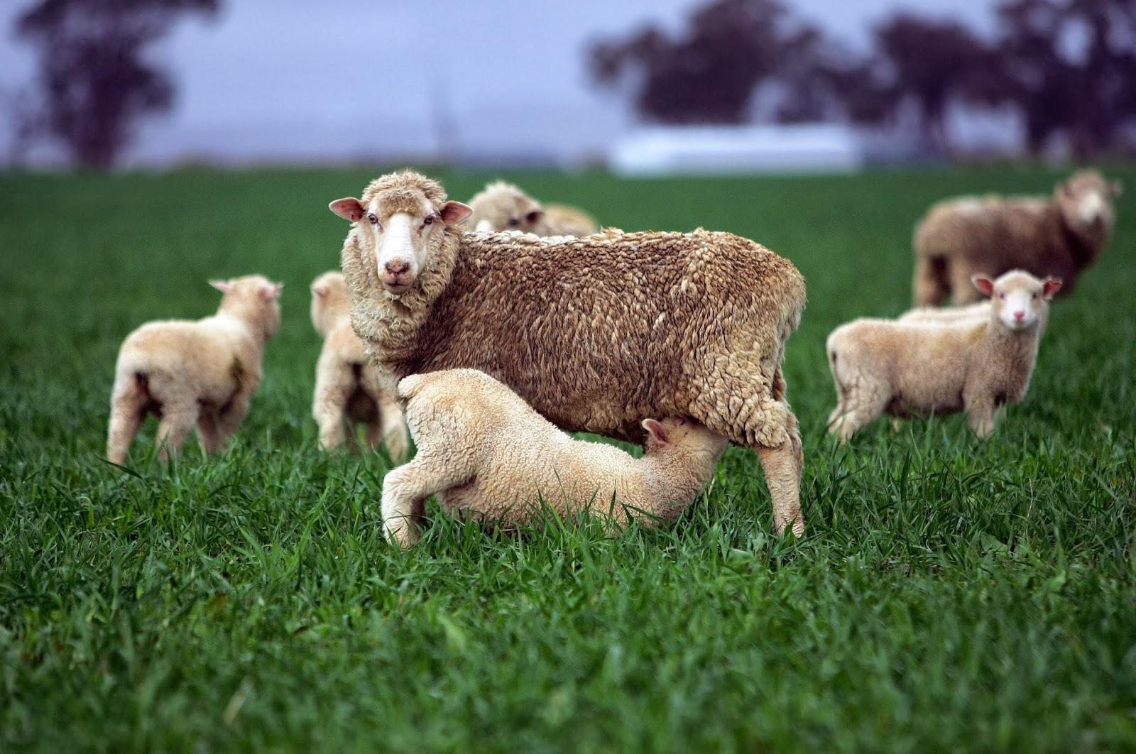 Otimizar produção de Ovinos – Manejos Práticos de Pastagem